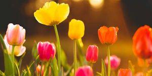 тюльпаны на поле